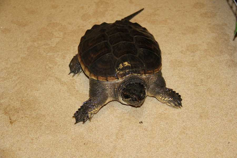 This is a Snapping turtle at the WHS Wildlife Rehabilitation Center.