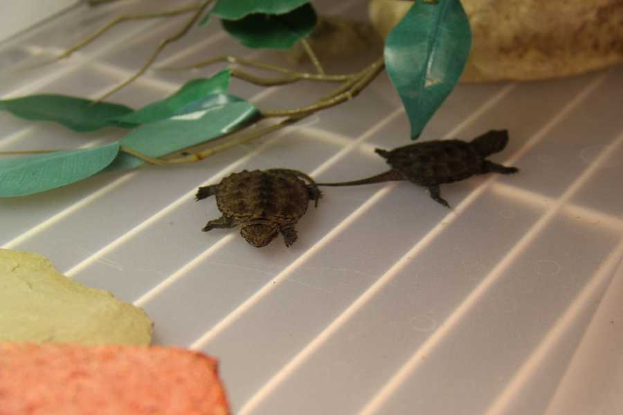 These are baby Snapping turtles.