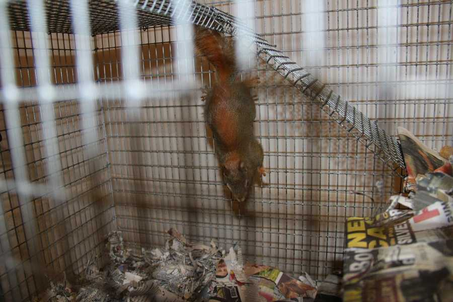 There are several red squirrels currently at WHS.