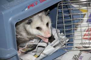 The Virginia opossum is North America's only marsupial. They are nocturnal and eats just about anything.