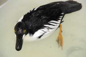 This one was found on roadside and has waterproofing issues with its feathers.