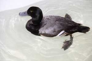 The Greater Scaup is primarily found along large bodies of water.