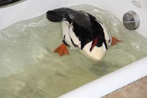 The Common Merganser eats mainly fish.