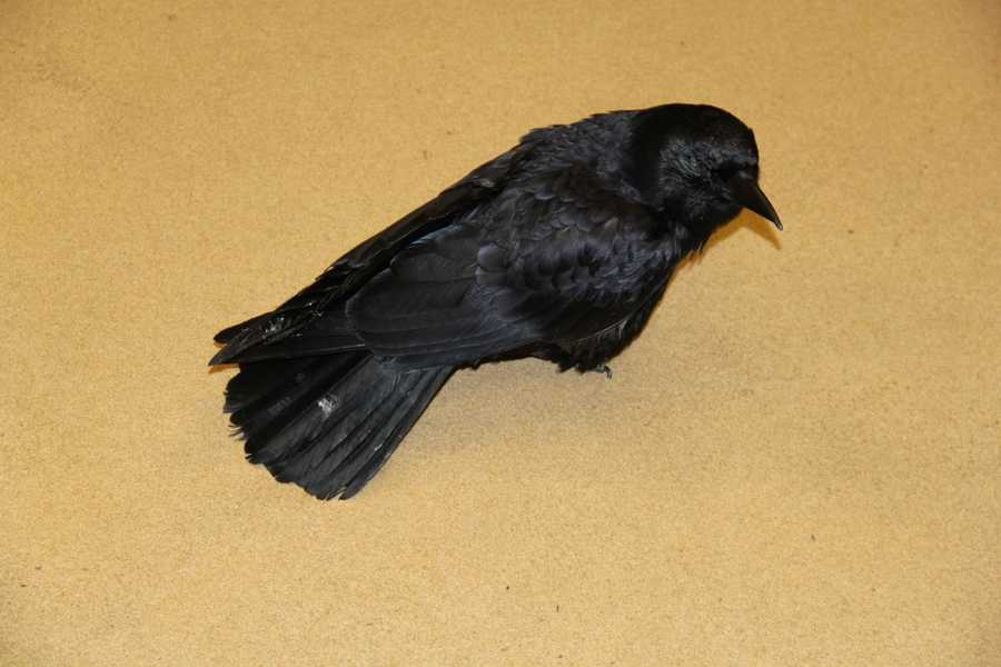 "Meet ""Crow Baby"" on of the WHS's education animals."