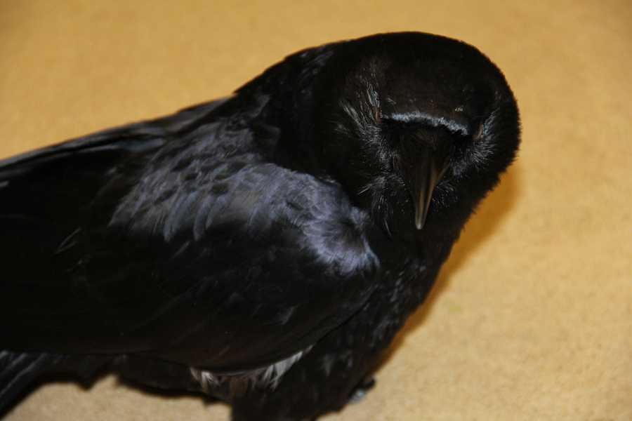 """Crow Baby is a permanent resident of the WHS and works as a """"foster crow"""" to help other rehabbing crows and serves in an educational capacity."""