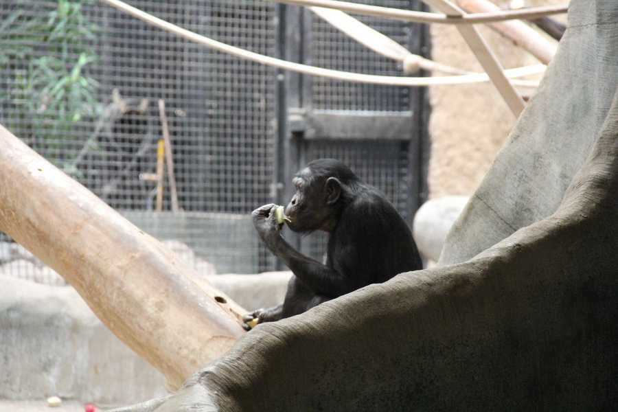The Columbus Zoo and Jacksonville Zoo also have thriving Bonobo programs.