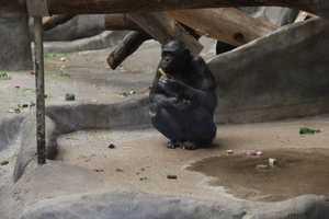Bonobos eat lots of vegetables.