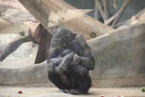 Bonobos DNA is a fraction of a percent more like human DNA than that of the Chimpanzee.