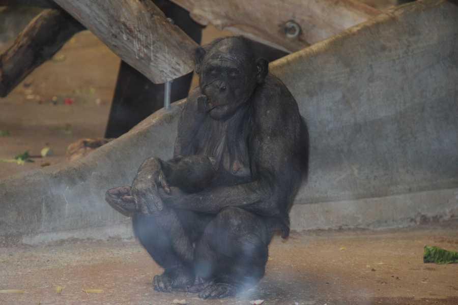 Both Bonobo and Chimpanzee DNA is closer to human than Gorilla.