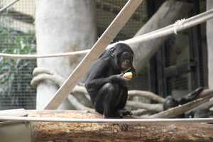 Bonobos live in a fission-fusion society.