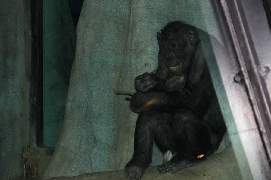 Bonobos differ from their close relative, the Chimpanzee, in that Bonobos have more rounded heads, more slender builds, flatter faces and pink lips.