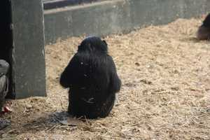Adult Bonobos weigh 73-99 pounds.