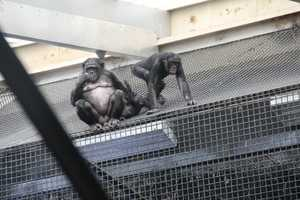 Sexual activities occur more in Bonobos than in any other ape.