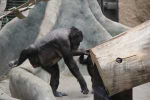 Bonobos are one of the few species that mate face to face.