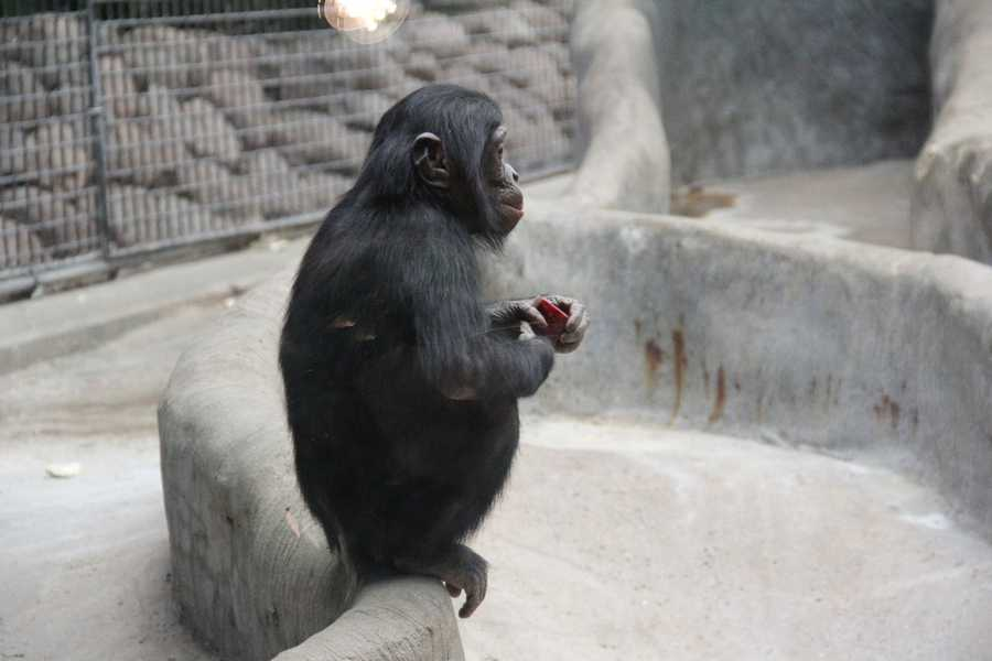 There are also two 4 year old Bonobos in the group.