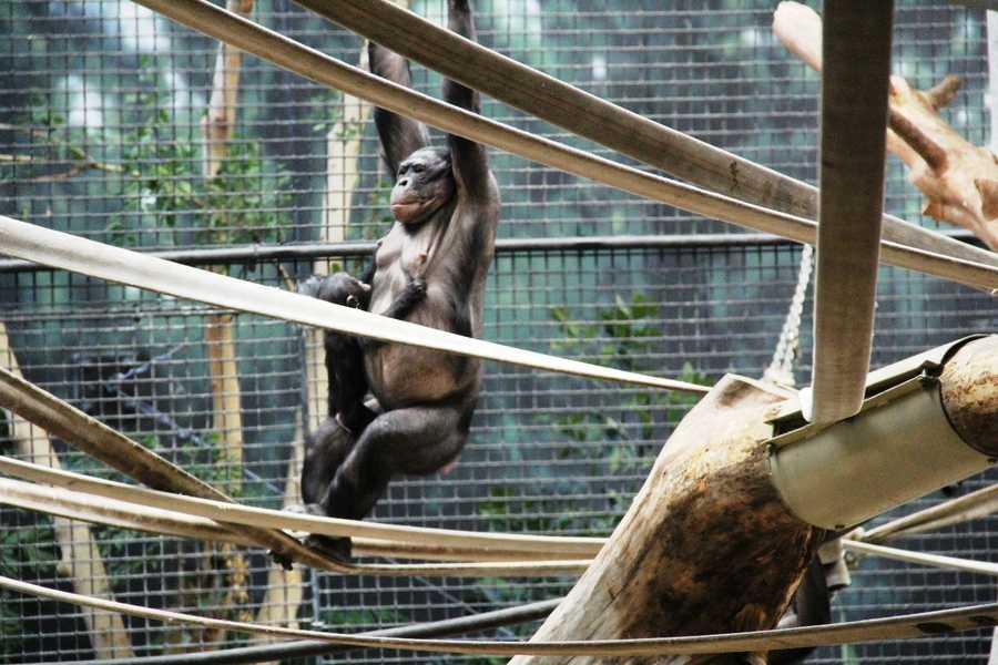 Often hard to see in the exhibit, the babies can be seen clinging to one of the adults.