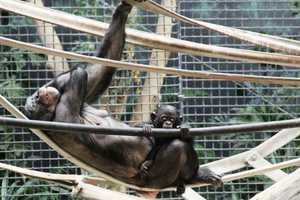 In 2013, four Bonobos were born at the Milwaukee County Zoo.