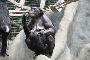 Habitat destruction and poaching are two of the biggest threats to the Bonobos survival. Bonobos are endangered.