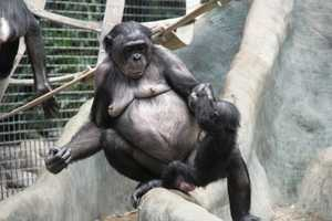 The newest Bonobos were born in May, June, November and December.