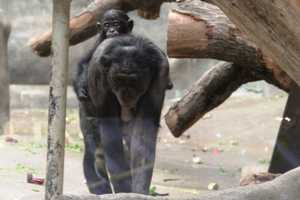 Bonobos live in a Matriarchal society.