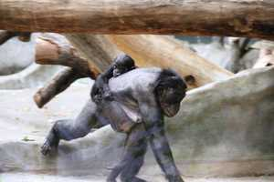 The only place in the wild Bonobos are found is in Congo (DRC).