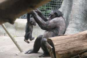 All of the Bonobos help care for the young.