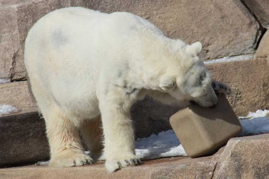 As part of her enrichment, she can shake the box to get the pellets and scallops to fall out as her reward.