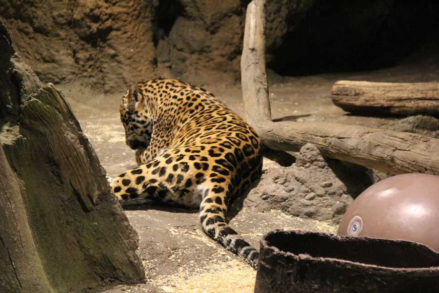 """Underneath the big cat country are the """"winter quarters"""" for the warm-weather animals."""