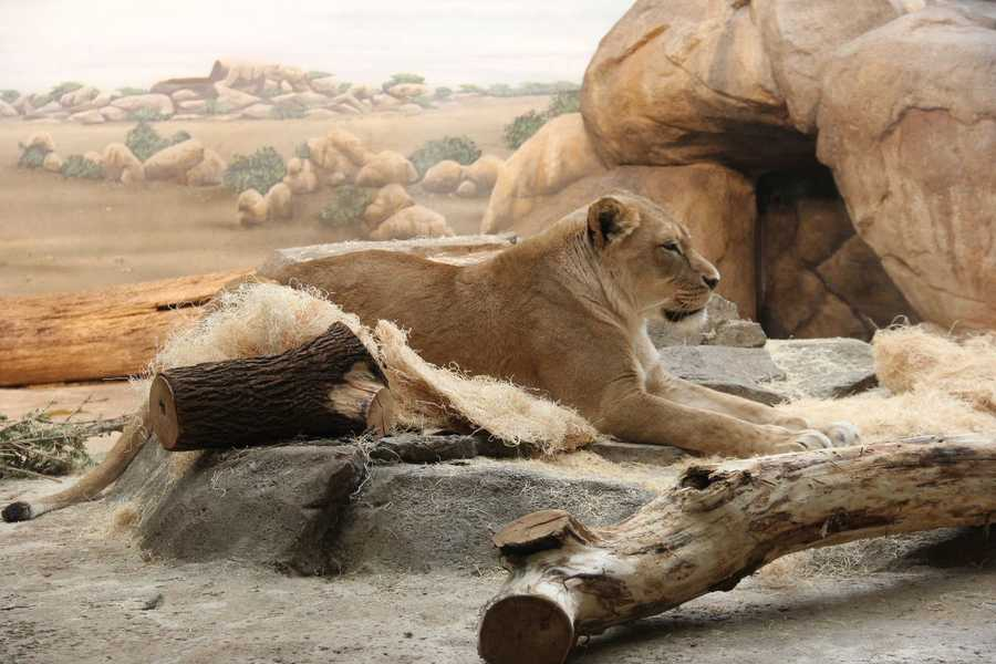 Sanora (pictured) and Themba, the zoo's lions share their exhibit with the hyenas currently as the hyena's exhibit is under construction. How do the keepers change out the animals?