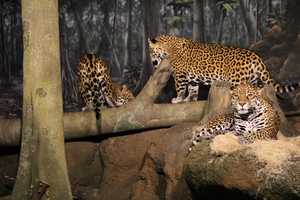 Each of the jaguar cubs (back) eat 3 pounds of meat per day while their mom (front) eats about 2.5 pounds.