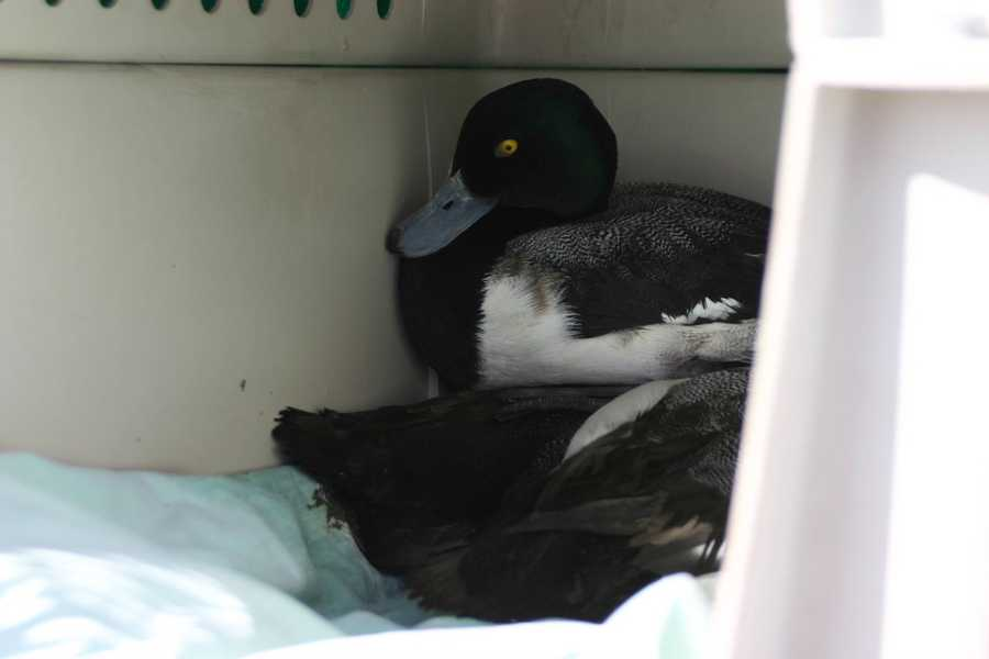 This year, nearly 100 ducks were under in for care.