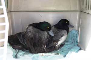 Greater Scaups are diving ducks and require open water to feed.