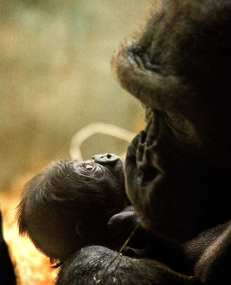 This is the first gorilla born in Milwaukee since 1992.
