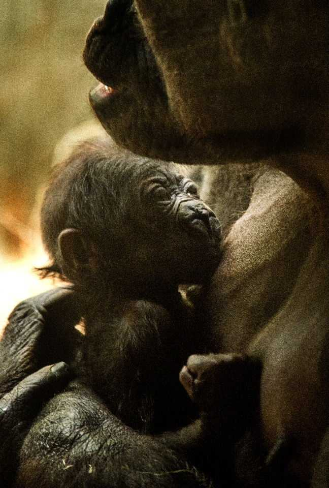 The new gorilla is believe to female, but keepers may not be able to verify that for some time.