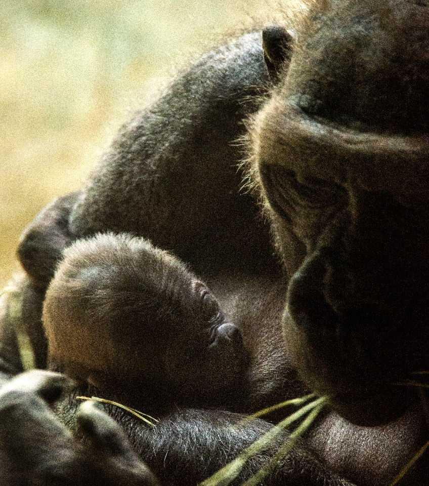 Western lowland gorillas are critically endangered.