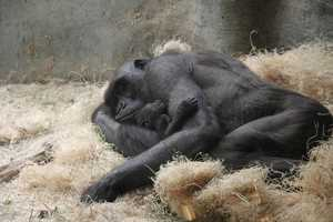 The baby, much like an 8 day old human, spends most of its time sleeping and clinging to mom, Naku.