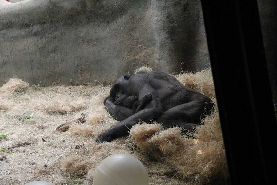 After today, Naku and Kassiu will be on public display intermittently until both are acclimated to the indoor exhibit. On any particular day, they may or may not be visible to the public.