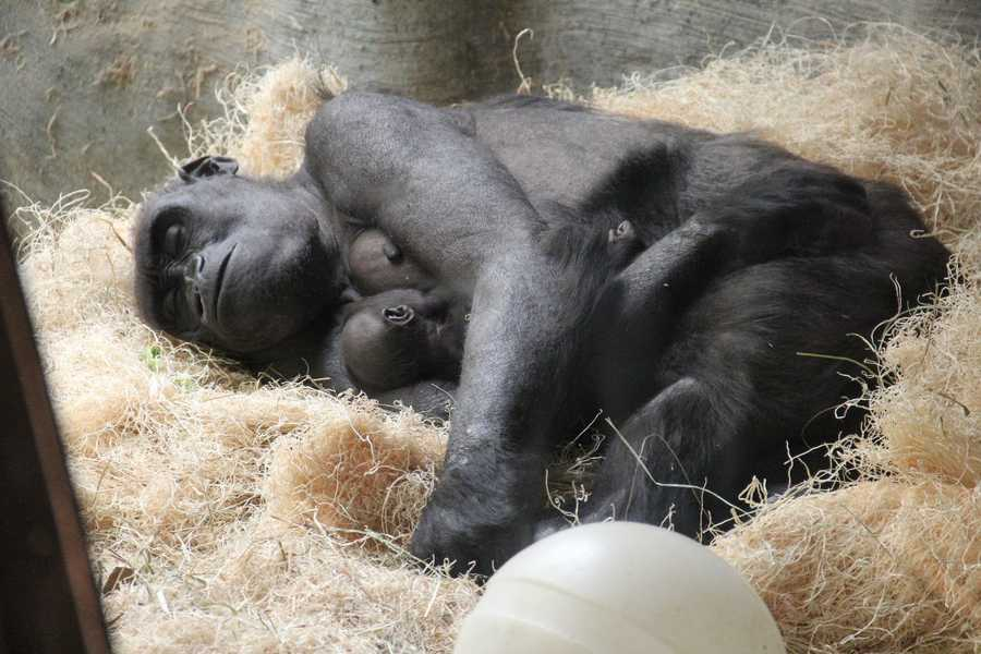 Zoo officials reported that Kassiu appeared weak on the afternoon of April 16 and died later that evening.