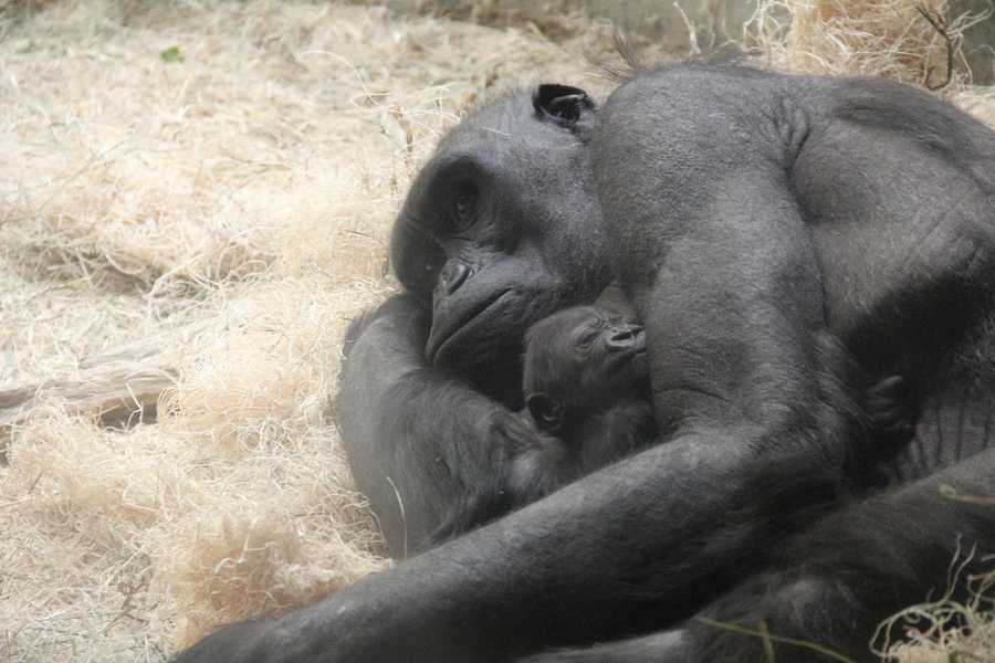 The birth required very little intervention from the keepers. Naku's motherly instincts kicked in and she appears to be taking good care of the baby.