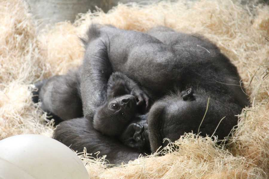 Female gorillas are pregnant for nearly nine months, just like humans.