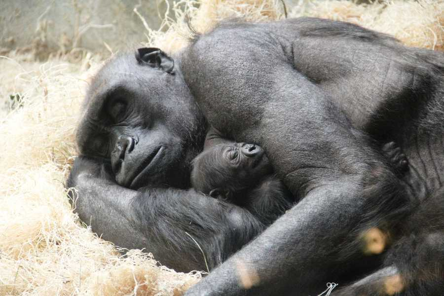 All of the gorillas at the zoo are western lowland gorillas.