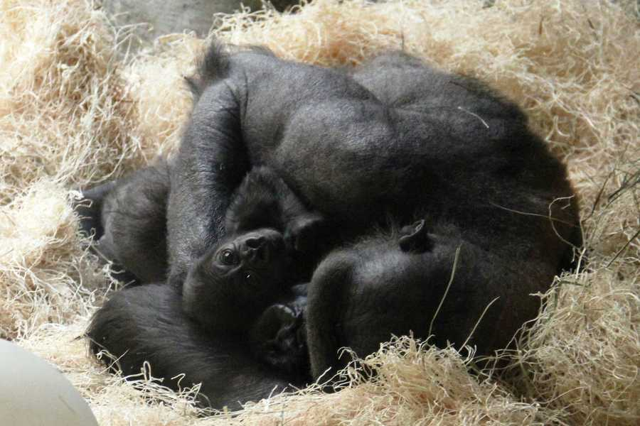 Western lowland gorillas are native to Cameroon, Central African Republic, Congo, Equatorial Guinea, Nigeria, Gabon, Angola, and possibly the Democratic Republic of Congo.
