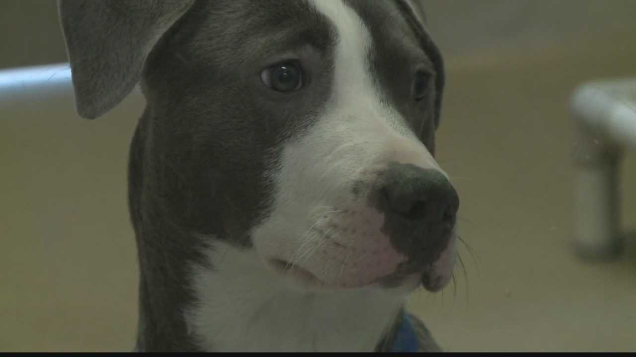 The Wisconsin Humane Society has an overload of pit bulls that need homes.