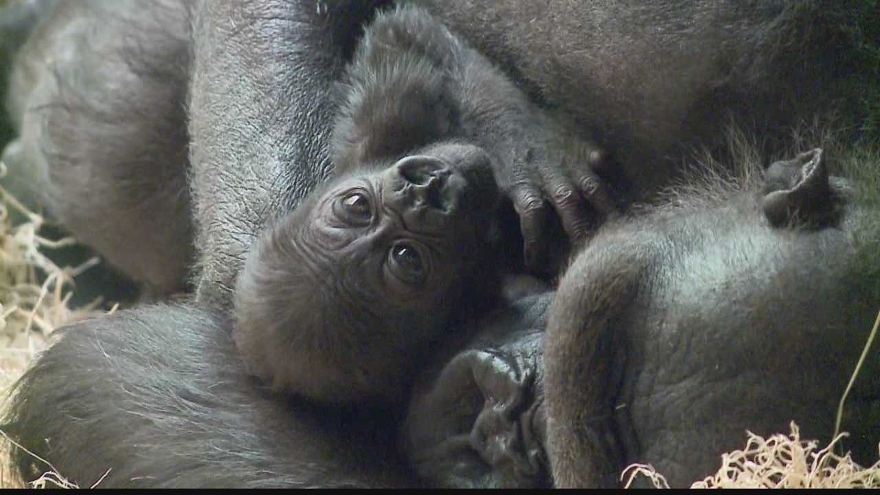 The Milwaukee Zoo celebrated the birth of baby gorilla Kassiu nearly a month ago. Today, the zoo is reeling from her sudden death.