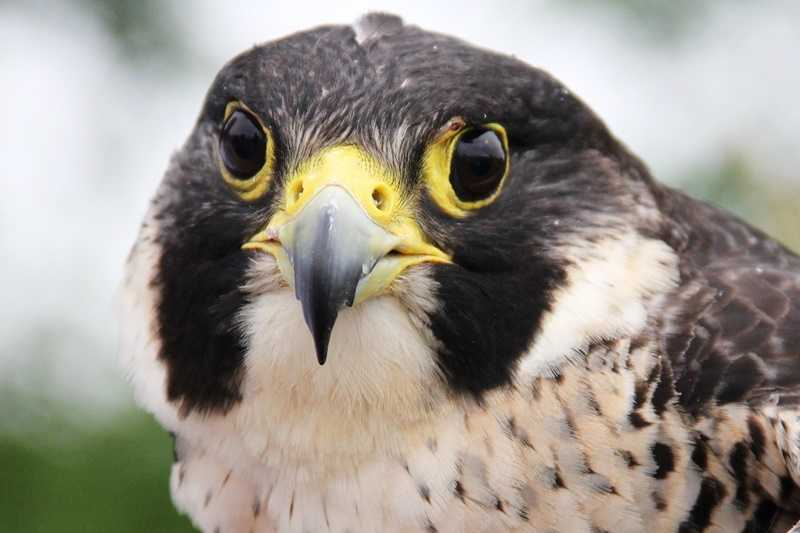Remember Madame X, the Peregrine falcon that was shot and found in West Allis?