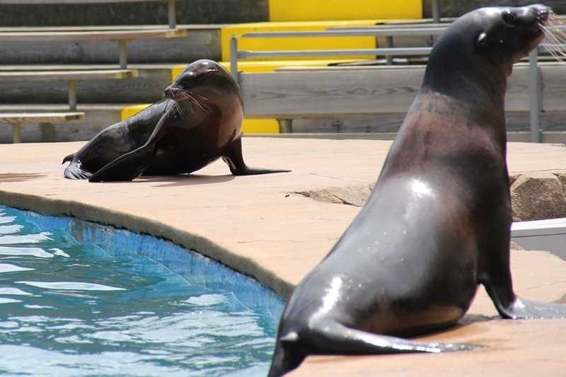 The seals and sea lions that are part of the show become animal ambassadors by helping teach the public about marine mammal conservation.