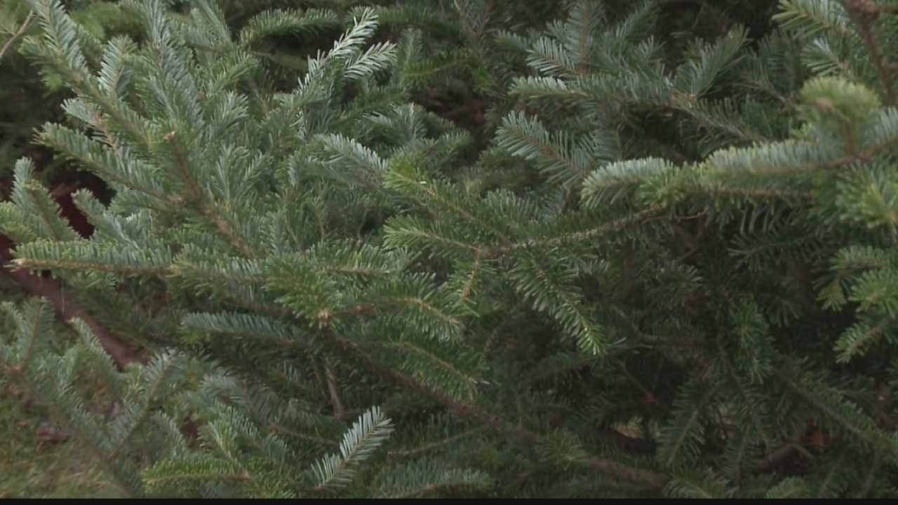 Local tree farm owners are pleased with this year's tree crop.