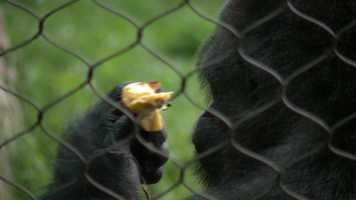 Seven gorillas at the Milwaukee County Zoo have a new area to call home -- the Gorilla Yard.