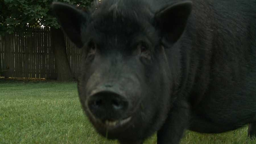 Her owners says she's a beloved pet. The city says livestock is prohibited.