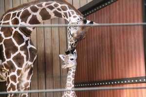 A male giraffe calf was born at the Milwaukee County Zoo on September 16th.